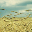 Wheat field — Stock Photo #31833025