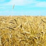Wheat field — Stock Photo #31833033