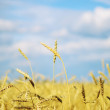 Wheat filed — Stock Photo