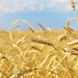 Wheat filed — Stock Photo #32178141