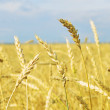 Wheat field — Stock Photo #32374711