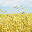 Wheat field — Stock Photo #32525299
