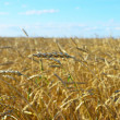 Wheat field — Stock Photo #32789677
