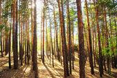 Bosque de pinos — Foto de Stock
