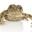 Toad on white background — Stock Photo #12711213
