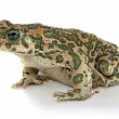 Toad on white background — Stock Photo #12711449