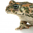 Toad on white background — Stock Photo #12768156