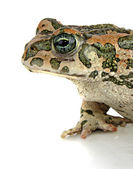 Toad on white background — Stock Photo