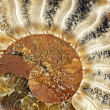 Stock Photo: Ammonite fossil