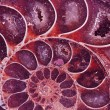 Ammonite fossil — Stock Photo #12802227
