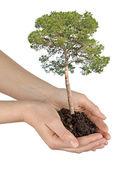 Pine tree in hands — Stock Photo