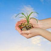 提出玉米茎作为农业的礼物 — 图库照片