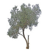 Olive tree isolated on white — Stock Photo