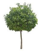 Citrus tree — Stock Photo