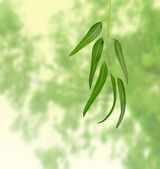 Rama de eucalipto — Foto de Stock