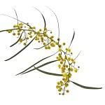 Acacia saligna — Stock Photo #22629575