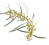 Acacia saligna — Stock Photo