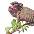 Chameleon on branch — Stock Photo