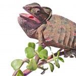 Chameleon on branch — Stock Photo