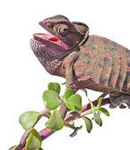 Chameleon on branch — Foto Stock