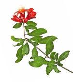 Granatäpple gren med blomma — Stockfoto