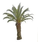 Palm tree — ストック写真