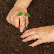Stock Photo: Planting beplant
