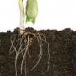 Bean seedling — Stock Photo