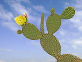 Opuntia cactus — Stock Photo