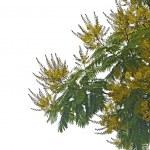 Acacia — Stock Photo #27808171