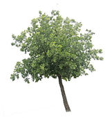 Tree on white — Stock Photo
