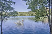Swan at Bled lake — Stock Photo