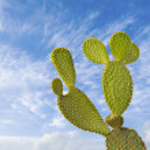Opuntia cactus — Stock Photo #33144937