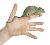 Camaleón en mano — Foto de Stock