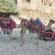 Camels at Petra, Jordan — Stock Photo