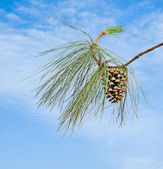 Pine branch with cone on sky background — Stock Photo