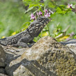 Agama on stone — Stock Photo