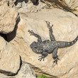 Stock Photo: Agama on stone