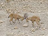Two ibixes — Stock fotografie