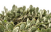 Cactus on white background — Stock Photo