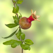 Small pomegranate on branch — Stock Photo #46841641