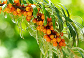 Buckthorn berries — Stock Photo