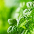 Green basil — Stock Photo #34704405