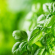 Stock Photo: Green basil