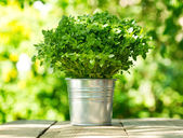 Green basil in a pot  — Stock Photo