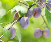 Ameixas em uma árvore — Foto Stock