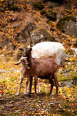 Goat in forest — Stock Photo