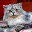 Domestic cat — Stockfoto #21862071