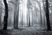 Bw forest — Stock Photo