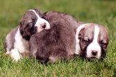 Süßes baby hunde — Stockfoto